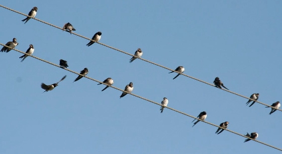 Swallows gathering