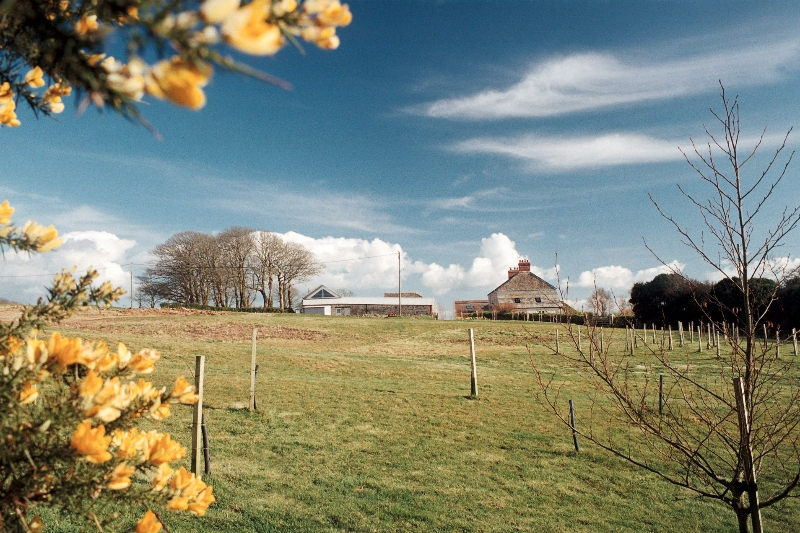 Cornish Gorse